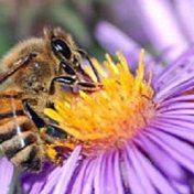 asters for bees