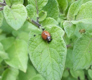 potato beetle larvae