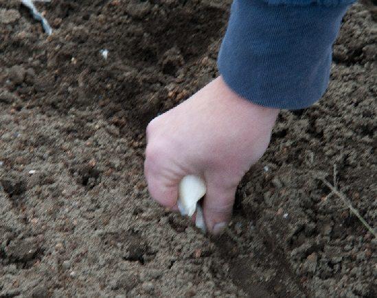 planting garlic