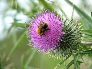 bull thistle pollination