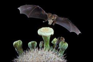 bat pollination