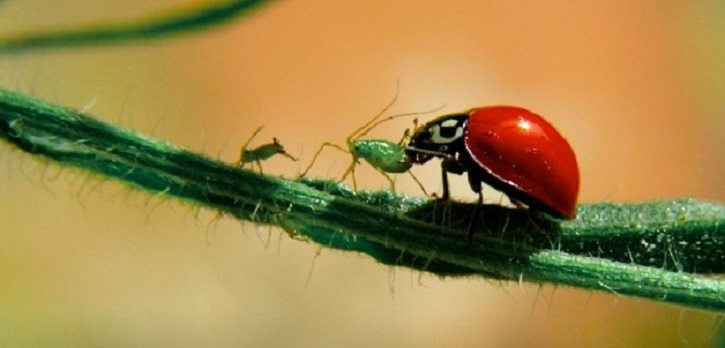 ladybugs as predators
