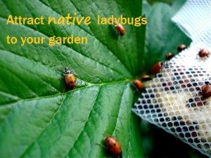 attract native ladybugs to your garden