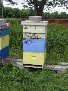 dual colony