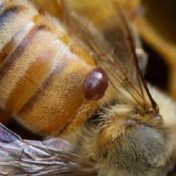 varroa mite on honeybee