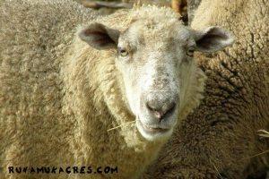 sheep at runamuk
