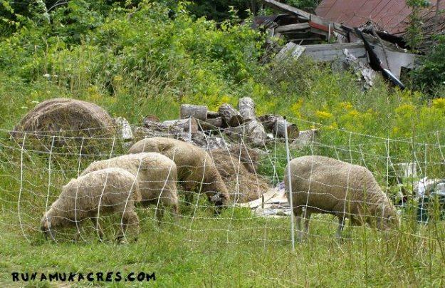 using sheep to reclaim this old farm