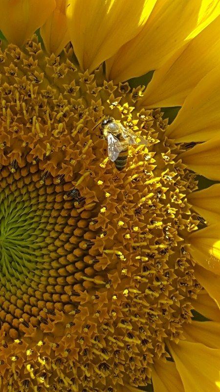 honeybee on royal hybrid