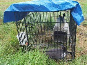butchering meat rabbits