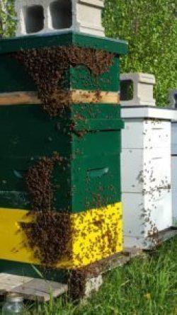 runamuk-apiary-bees-on-a-hive