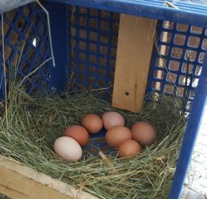 egg-production-in-a-hoop-house
