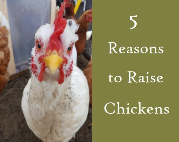 5 Five Reasons To Raise Chickens