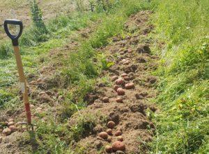 fresh-dug-potatoes