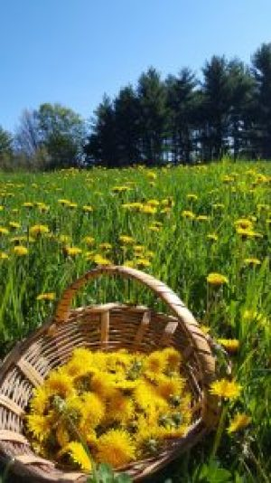Dandelion Harvest in meadow with trees