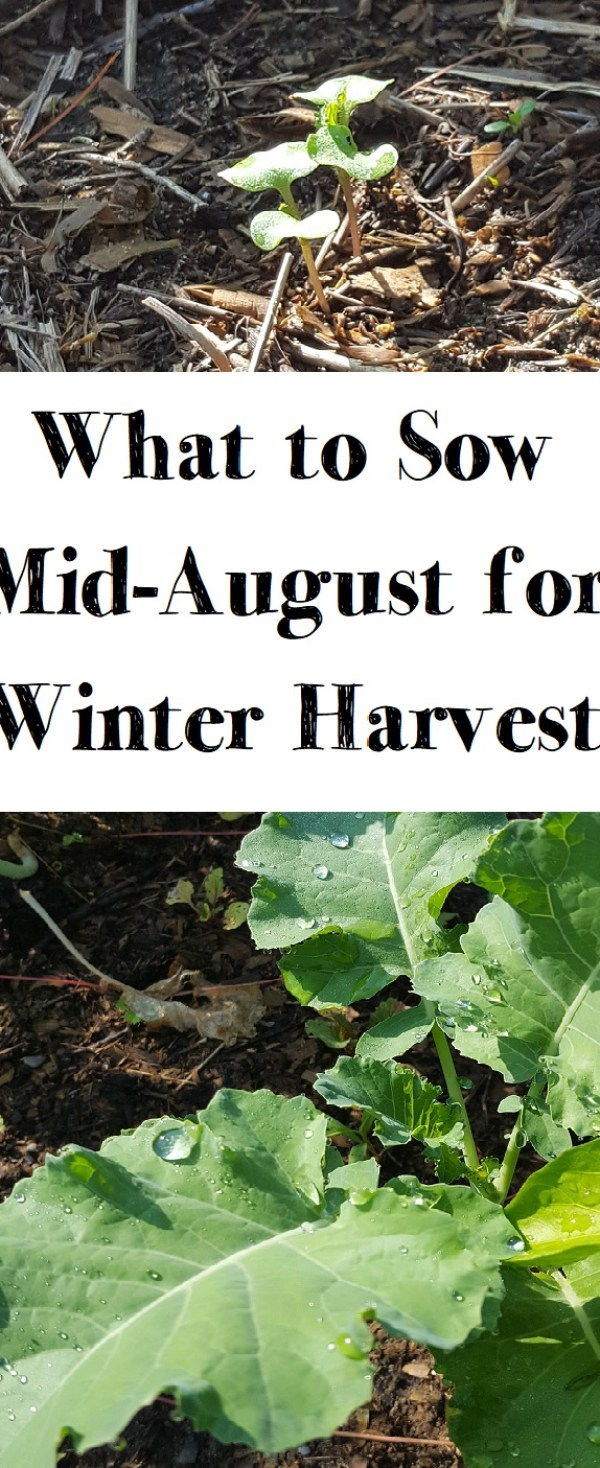 mid-august sowing for winter harvest