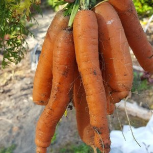 awesome carrot crop_2017