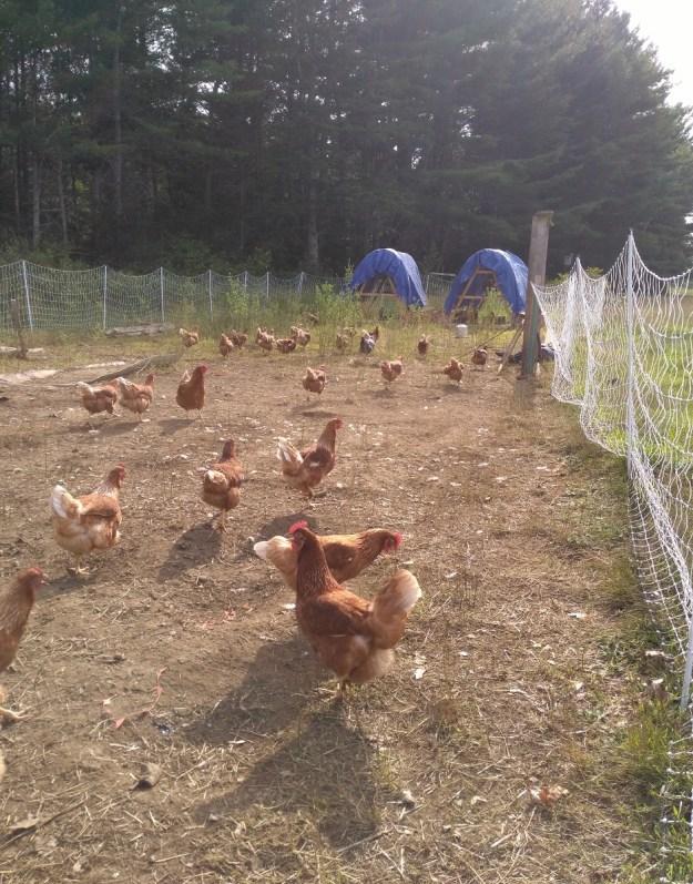 chickens working the garden