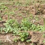 garden cover cropping
