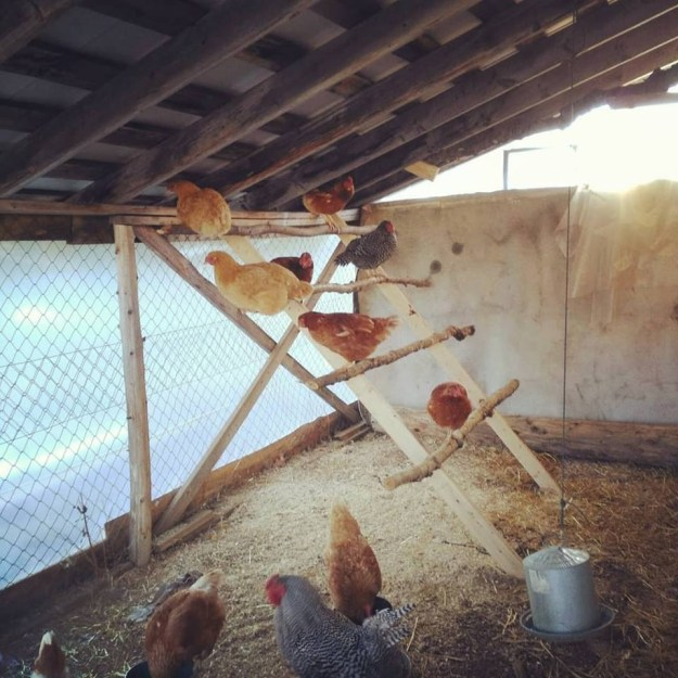 chickens inside the winter coop