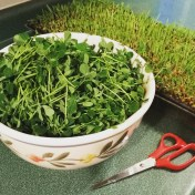 homegrown pea shoots