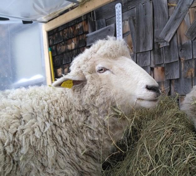 miracle the sheep