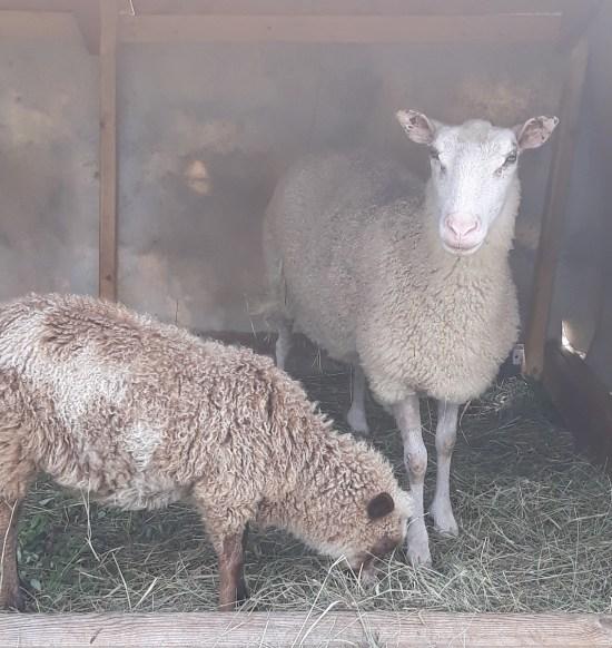 angry sheep glare