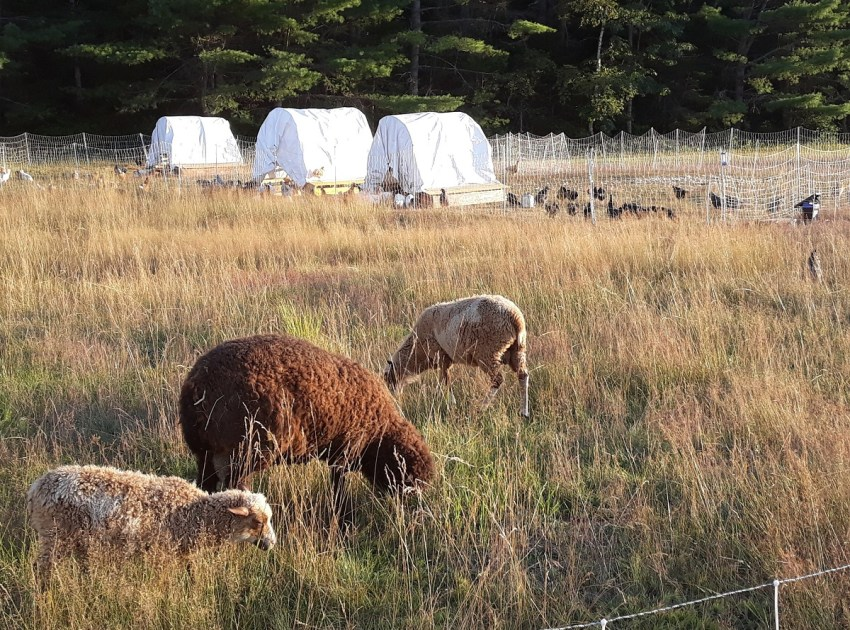rotational grazing sheep and chickens