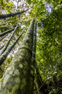 The Philippines - Bamboo in Patag Silay