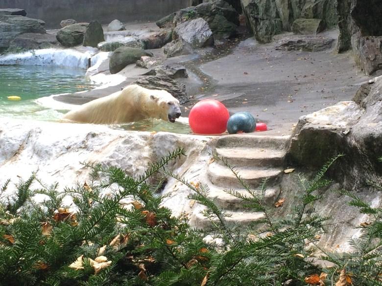 polar bear at bronx zoo