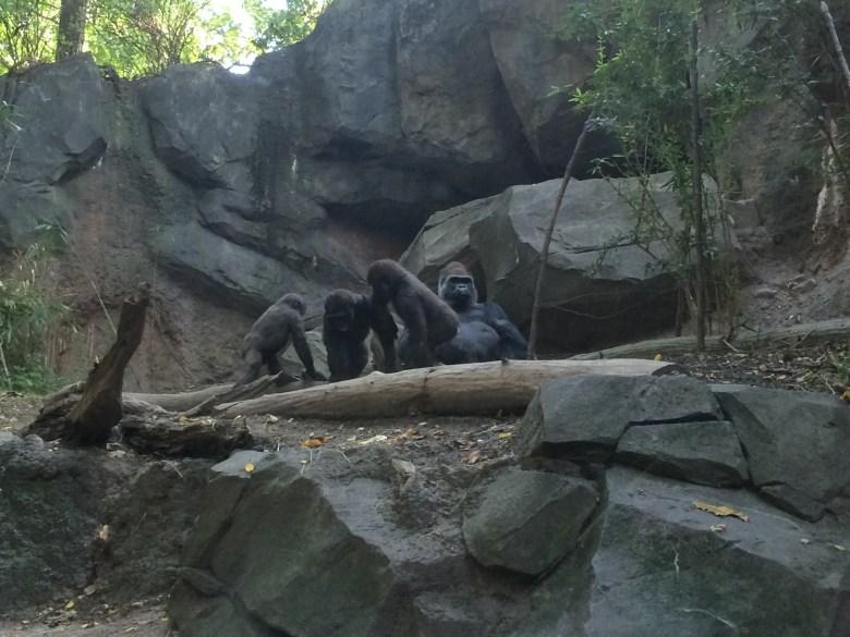Bronx zoo gorillas