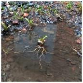 Måndag 7 april: Vatten-eller landväxt?