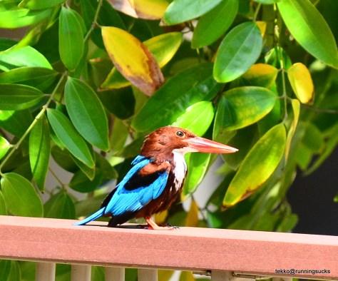 White Throat Kingfisher