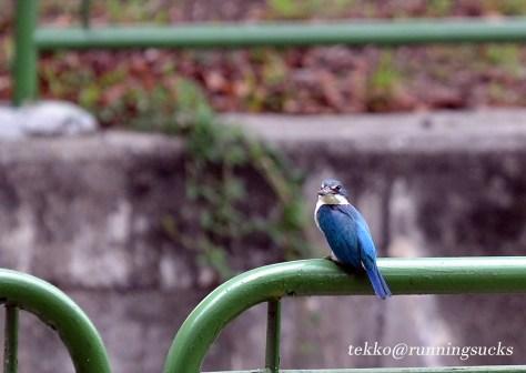 Blue Collared Kingfisher