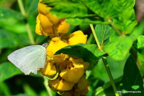 Mottled Emigrant Butterfly