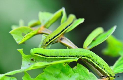 Mottled Emigrant Caterpillars