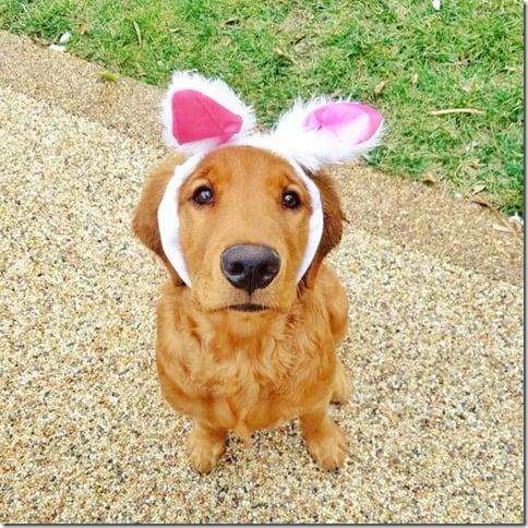 cute golden retriever bunny ears