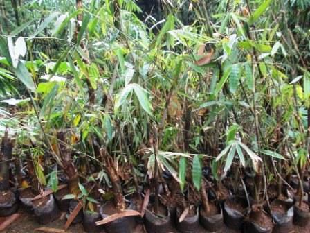 bibit bambu