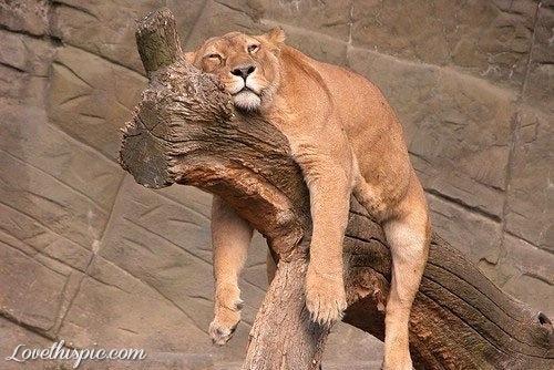 24538-Relaxing-Lion