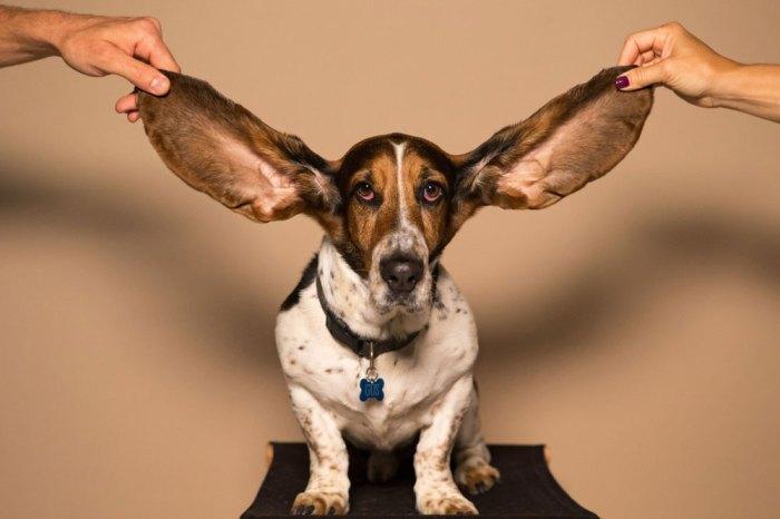 τρέξιμο τραυματισμός τραυματισμοί - σκύλος αυτιά