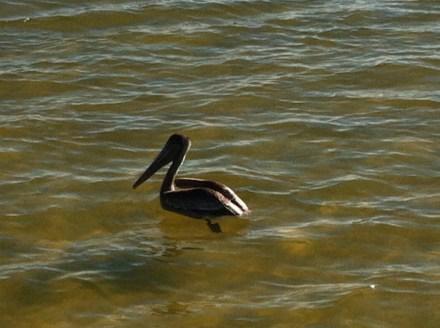 sh pelican