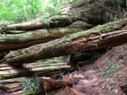 trail, Lone Cone, fallen tree, Meares Island, Tofino