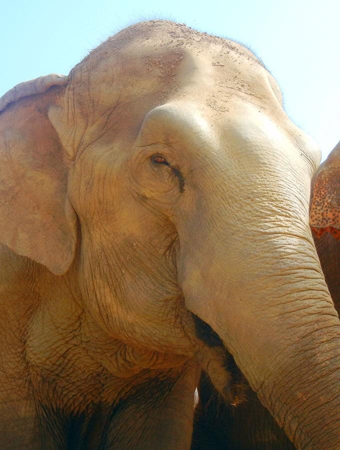 Beautiful Elephant at Elephant Nature Park in Chiang Mai