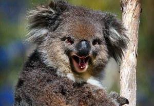 Koala maléfique (non, je ne pouvais décemment pas zapper le koala pour ce dernier épisode)