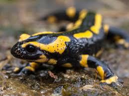 a cute salamander