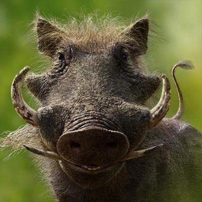 Lion King: Pumbaa