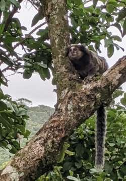 Monkey in Brazil