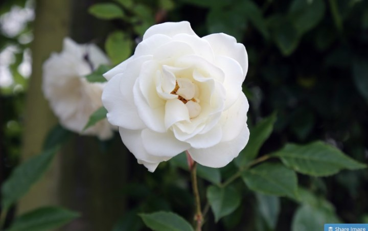 100 Types of the Most Beautiful White Flowers for Your Garden   Home     White Rose Flower
