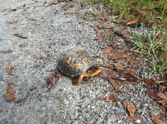 turtle on the running trail
