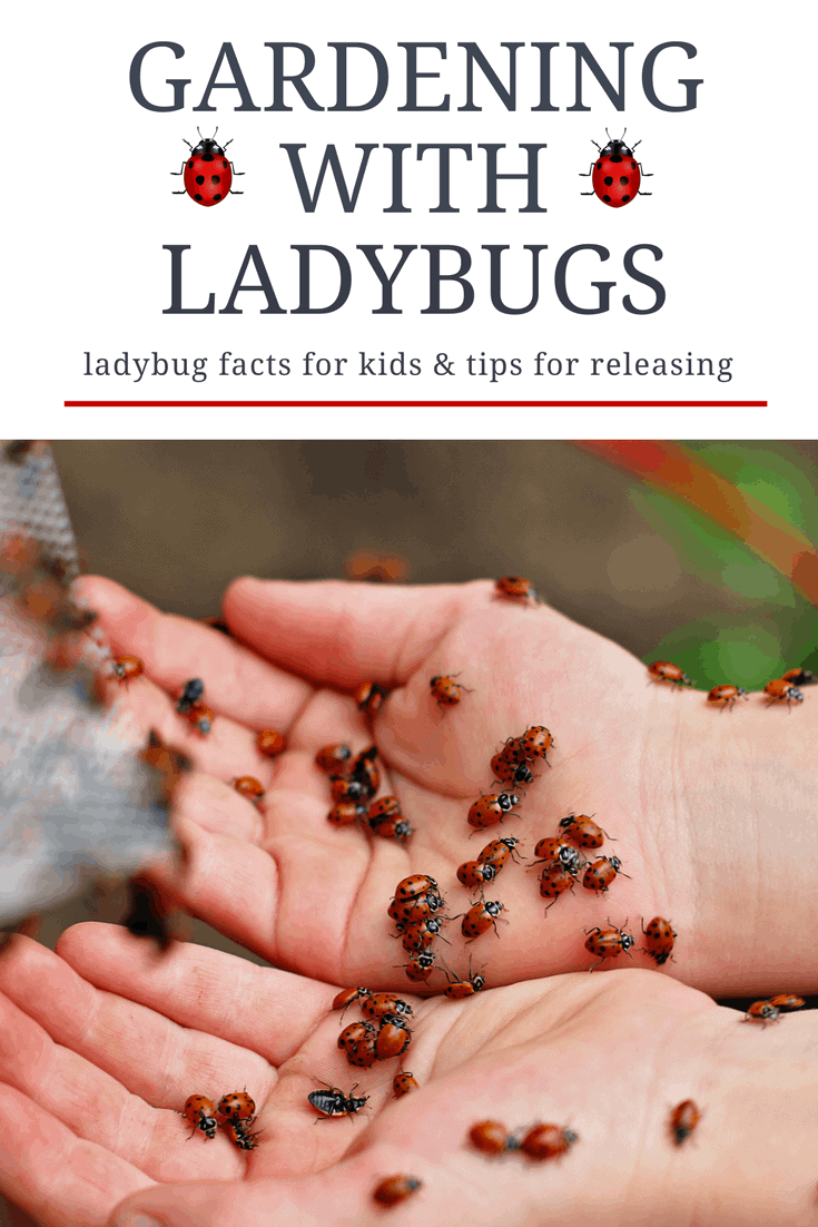 Gardening with ladybugs and releasing them with kids