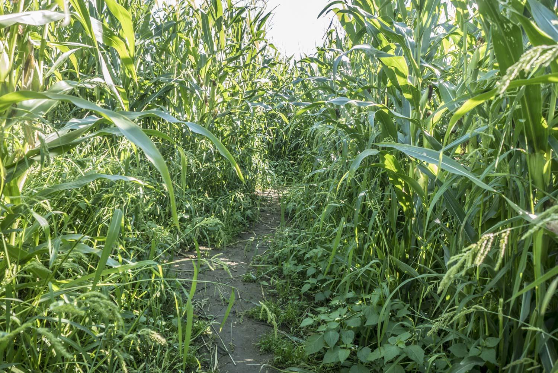 Maissipellon keskellä voi tuntea eksyvänsä.